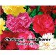 Hvozdník karafiát - Chabaud - Směs barev