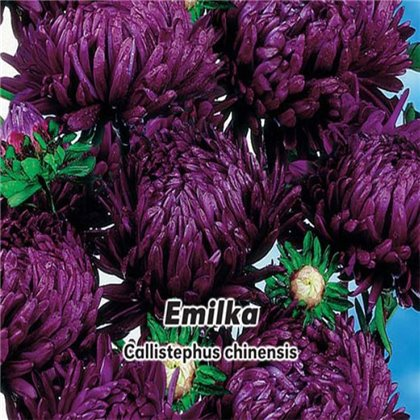 Astra čínská , pivoňkovitá - Emilka - semena 0,4 g