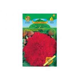Begonia RED 2ks/TŘ/jcc