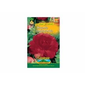 Begonia RED 2ks/VE/jdd