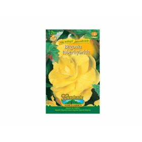 Begonia YELLOW 2ks/VE/jdd