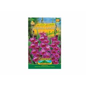 Gladiolus VELVET EYES 6ks/VE/jdd