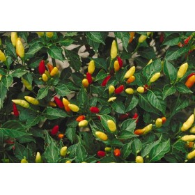 Tabasco Chilli (Capsucum) - semena chili 10 ks