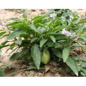 Pepíno (Solanum muricatum) 5 semen