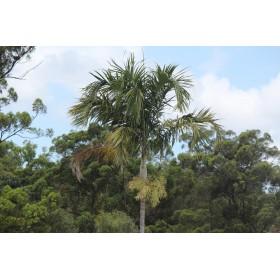 Palma štíhlá (Carpentaria acuminata) 4 semena