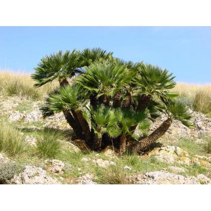 Palma Evropská (Chamaerops humilis) 2 semena