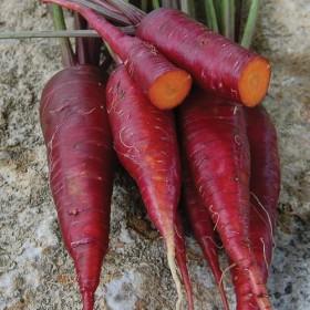 Mrkev Kosmická - fialová (Daucus carota) 20 semen