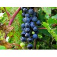 Réva pobřežní (Vitis Riparia) 5 semen