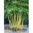 Nutuv Bambus ( Bambusa Nutans ) 3 semena