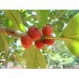 Fíkovník banyán (Ficus benghalensis) 5 semen