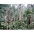 Eukalyptus regnans ( Eukacyptus regnans ) 8 semen