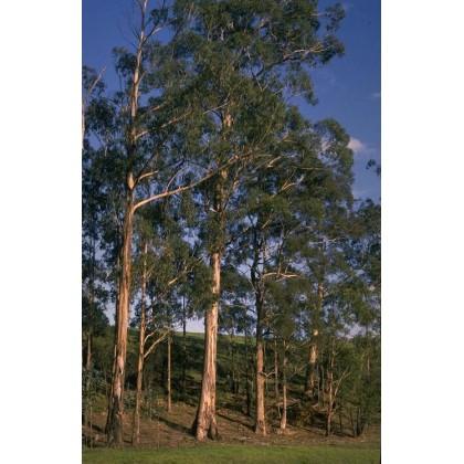 Eukalyptus Globulus (Eucalyptus globulus) 10 semen