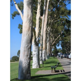 Eukalyptus citrónový (Eucalyptus citriodora) 7 semen