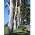 Eukalyptus citrónový ( Eucalyptus citriodora) 7 semen