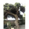 Čajovníkový strom (Melaleuca alternifolia) 30 semen