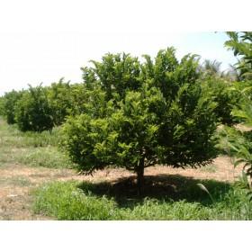 Anona šupinatá - Láhevník (Annona squamosa) 7 semen