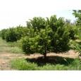 Anona šupinatá (Annona squamosa) 5 semen