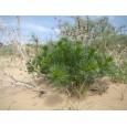 Harmala stepní (Peganum harmala) 10 semen