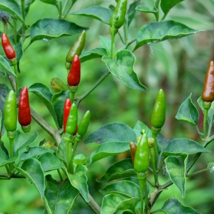 Chilli Bird Pepper (Capsicum frutescens Bird Pepper wild) 7 semen