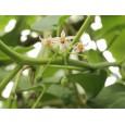 Tamarilo-Rajčenka (Cyphomandra betacea) 5 semen