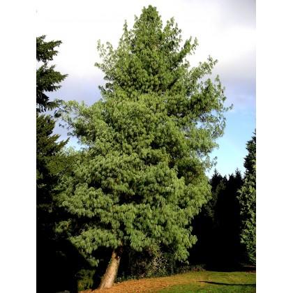 Borovice himalájská (Pinus wallichiana) 4 semena