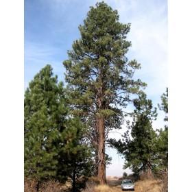 Borovice těžká (Pinus ponderosa) 7 semen