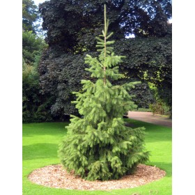 Smrk tibetský (Picea smithiana) 10 semen