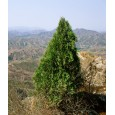 Thúje orientální (Platycladus orientalis) 10 semen