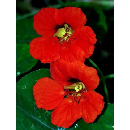Lichořeřišnice: Empress of India - semena 2 g