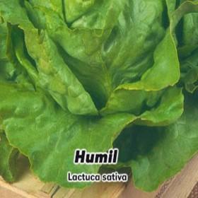Salát hlavkový - Humil - semena 0,6 g
