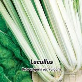 Mangold - Lucullus - semena 4 g