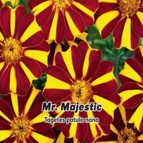 Aksamitník rozkladitý- Mr. Majestic - 0,3 g