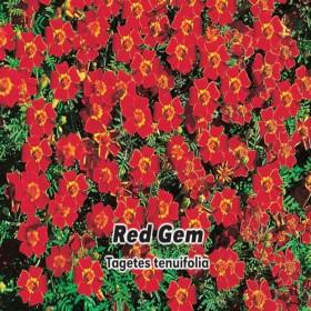 Aksamitník jemnolistý - Red Gem - semena 0,2 g