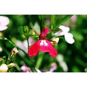 Lobelka drobná karmínově červená - semena 0,2 g