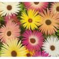 Kosmatec sedmikráskovitý - Směs barev