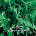 Celer listový (naťový) - Jemný - semena 400 ks