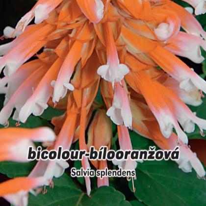 Šalvěj zařivá (Salvia splendens) 0,3g
