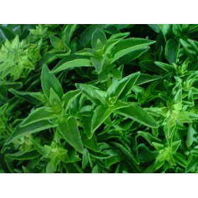 Bazalka pravá - Ohře - semena 0,4 g