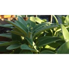 Šalvěj lékařská - semena 0,6 g