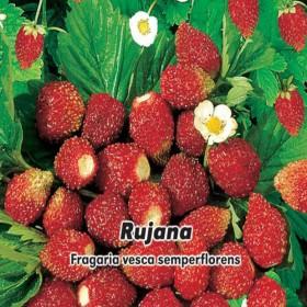 Jahodník měsíční - Rujana - semena 0,2 g