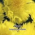 Chrpa velkohlavá - žlutá (Centaurea macrocephala)
