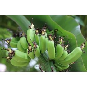 Banánovník Dwarf Cavendish (musa acuminata) 5 semen