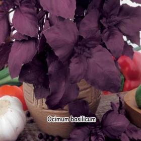 Bazalka červená Purple