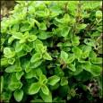 Majoránka zahradní - 0,4 g