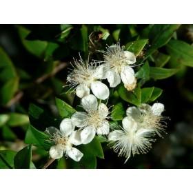 Myrta obecná (Myrtus communis) 5 semen