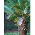 Palma Čínská ( Livistona chinensis) 2 semena
