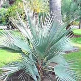 Palma stříbrná ( Nannorrhops arabica) 3 semena