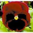 Maceška zahradní - Vínově červená s okem