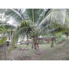 Palma Trpasličí ( Sabal minor) 3 semena