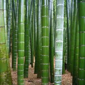 Král Bambusů (Phyllostachys pubescens) 3 semena